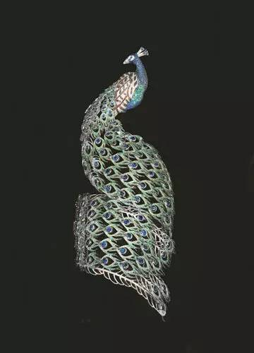 精美的孔雀尾巴如蕾丝花边般轻盈环绕手腕